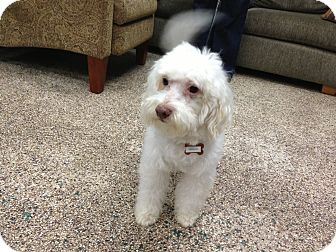 Goldendoodle Mix Dog for adoption in Thousand Oaks, California - Diesel