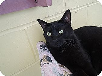 Domestic Shorthair Cat for adoption in House Springs, Missouri - Cadi