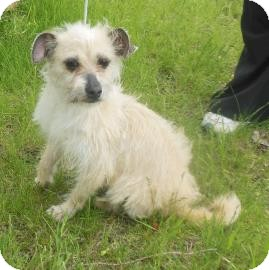 Terrier (Unknown Type, Small) Mix Dog for adoption in Gary, Indiana - Suzette