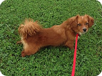Cavalier King Charles Spaniel/Dachshund Mix Dog for adoption in Mount Ida, Arkansas - Felix - Too Cute for Words