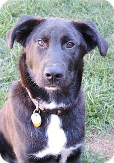 Labrador Retriever/Shepherd (Unknown Type) Mix Puppy for adoption in Brookings, South Dakota - Leonard