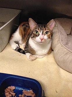 Calico Cat for adoption in Whitestone, New York - Pheonix