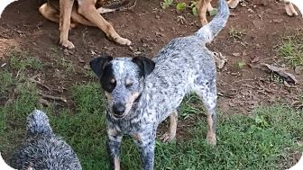 Blue Heeler/Australian Cattle Dog Mix Dog for adoption in Pikeville, Tennessee - Patch