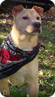 Labrador Retriever/Shepherd (Unknown Type) Mix Puppy for adoption in Cranford, New Jersey - Dale