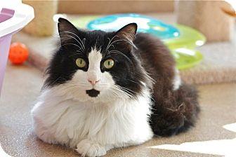 Domestic Longhair Cat for adoption in Coronado, California - King