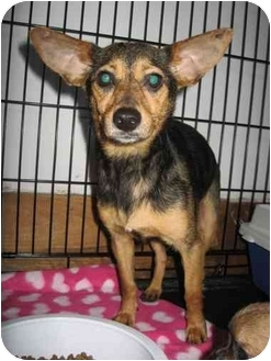Chihuahua/Terrier (Unknown Type, Small) Mix Dog for adoption in Cincinnati, Ohio - Toni: in Covedale