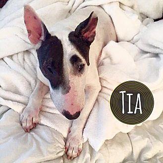 Bull Terrier Dog for adoption in Lake Worth, Florida - Tia