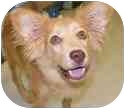 Papillon/Collie Mix Puppy for adoption in Claymont, Delaware - Timmy