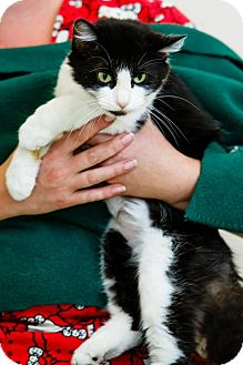 Domestic Longhair Cat for adoption in Windsor, Virginia - Hazel