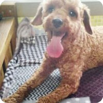 Poodle (Miniature) Mix Dog for adoption in LONG ISLAND CITY, New York - Paul