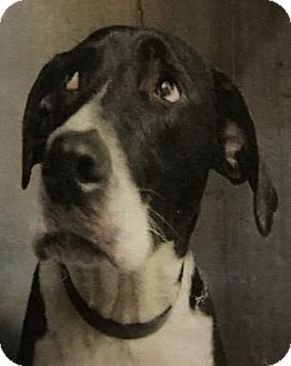Pointer/Border Collie Mix Dog for adoption in East Hartford, Connecticut - Bandit