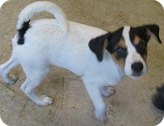 Rat Terrier/Terrier (Unknown Type, Medium) Mix Puppy for adoption in Snellville, Georgia - Sidekick aka NRG