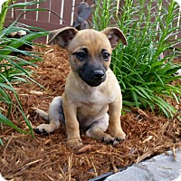 Adopt A Pet :: Daisy (FORT COLLINS) - Fort Collins, CO
