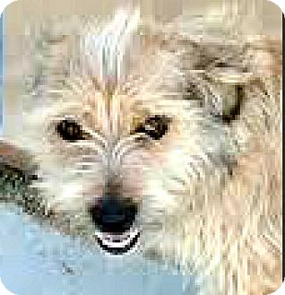 Cairn Terrier/Border Terrier Mix Dog for adoption in Boulder, Colorado - Axel-ADOPTION PENDING