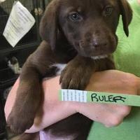 Adopt A Pet :: Ruler - Newburgh, IN