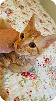 Domestic Shorthair Cat for adoption in Geneseo, Illinois - Sherbert