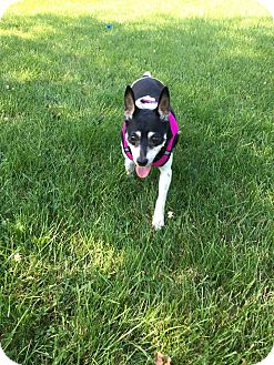 Rat Terrier/Terrier (Unknown Type, Small) Mix Dog for adoption in Columbus, Ohio - Roxy Too
