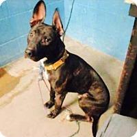 Adopt A Pet :: Lightfoot - ST LOUIS, MO