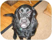 Golden Retriever/Labrador Retriever Mix Puppy for adoption in Evergreen, Colorado - Walter