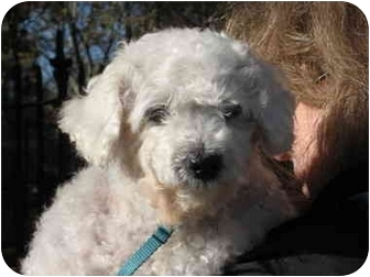 Poodle (Miniature) Dog for adoption in Long Beach, New York - Toby