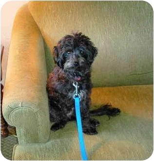 Poodle (Miniature)/Schnauzer (Miniature) Mix Dog for adoption in Smithfield, Virginia - Betty Boop