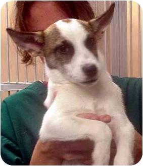 Terrier (Unknown Type, Medium)/Jack Russell Terrier Mix Dog for adoption in Manassas, Virginia - Ivan