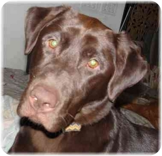Labrador Retriever Dog for adoption in Wyoming, Minnesota - Dasher-- Happy!