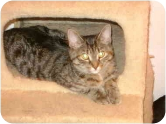 Domestic Shorthair Cat for adoption in Etobicoke, Ontario - Adaline(Jabez)
