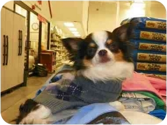 Chihuahua Dog for adoption in Loudonville, New York - Bentley