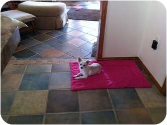 Chihuahua Mix Dog for adoption in San Angelo, Texas - Abbey