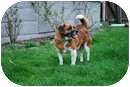 Beagle/Corgi Mix Dog for adoption in Salem, Ohio - Dancer