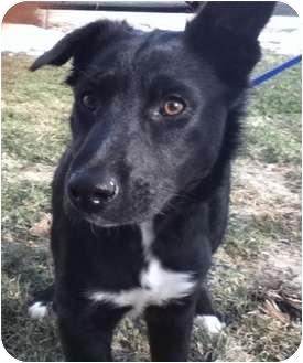 Border Collie Mix Puppy for adoption in Okotoks, Alberta - Kylan