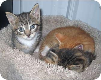 Domestic Shorthair Kitten for adoption in Marseilles, Illinois - Nicole