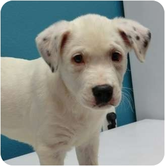 Border Collie Mix Puppy for adoption in Haughton, Louisiana - Sabine kill shelter (Freckles)