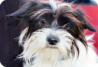 Wirehaired Fox Terrier/Boston Terrier Mix Dog for adoption in Allentown, Pennsylvania - Bandit