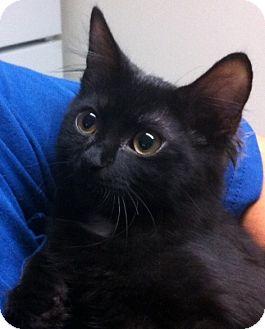 Maine Coon Kitten for adoption in Parkton, North Carolina - Thunder