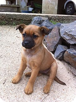 Black Mouth Cur/Boxer Mix Puppy for adoption in Leland, Mississippi - LITTLE BEE