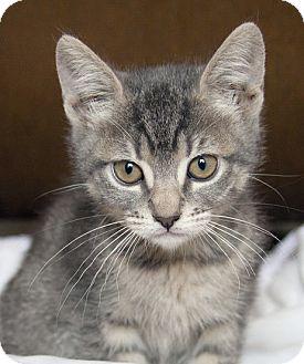 Domestic Shorthair Kitten for adoption in Irvine, California - Lacie