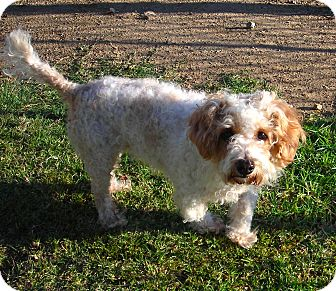 Miniature Poodle Mix Dog for adoption in El Cajon, California - Buffy