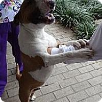 Adopt A Pet :: Maarten - Columbia, SC