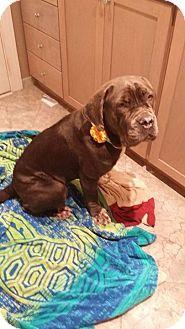 Neapolitan Mastiff Dog for adoption in Virginia Beach, Virginia - Elsa