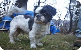Shih Tzu Dog for adoption in oxford, New Jersey - ferris