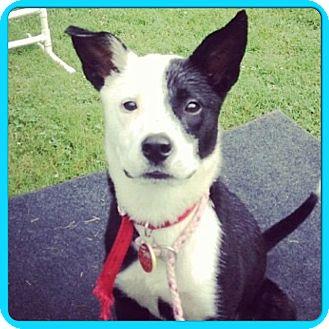 Border Collie/Labrador Retriever Mix Puppy for adoption in Hagerstown, Maryland - PHOEBE