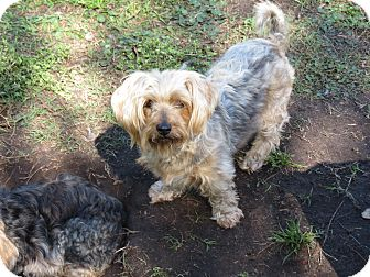 Silky Terrier/Terrier (Unknown Type, Small) Mix Dog for adoption in Middleburg, Florida - Hailey