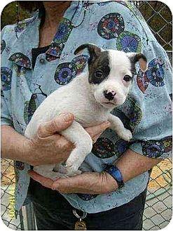 Boston Terrier/Feist Mix Puppy for adoption in Brookside, New Jersey - Suri
