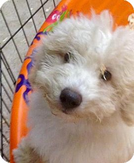 Poodle (Miniature) Mix Puppy for adoption in New Smyrna beach, Florida - Royce