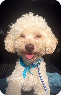 Poodle (Miniature) Mix Dog for adoption in Corona, California - COCO