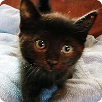 Adopt A Pet :: Widget - N. Billerica, MA