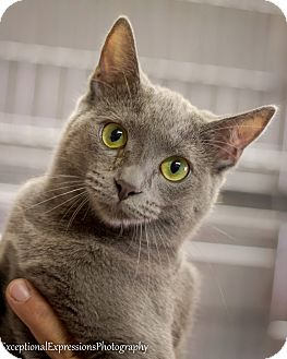 Russian Blue Kitten for adoption in Holden, Missouri - ItsMyParty