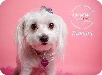 Maltese Mix Dog for adoption in Friendswood, Texas - Martini